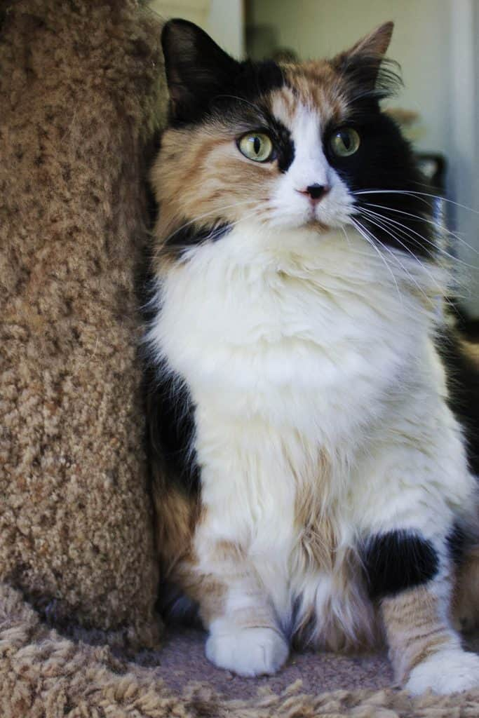 Medium hair calico leaning into a scratching post
